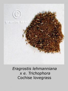 Eragrostis lehmanniana x E. trichophora