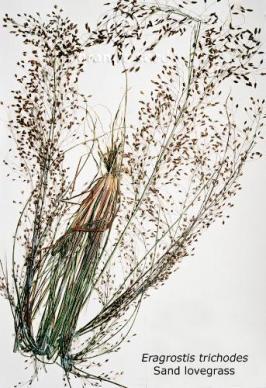 eragrostis  trichodes  product gallery #1