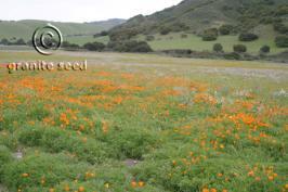 eschscholzia  californica  product gallery #6