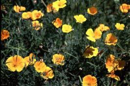 eschscholzia  californica  product gallery #10
