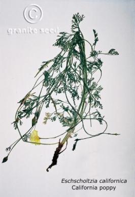 eschscholzia  californica  product gallery #2