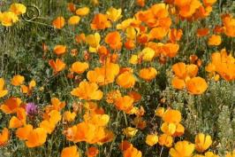 eschscholzia  californica ssp. mexicana  product gallery #4