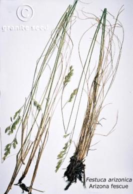 Festuca arizonica