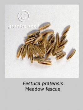 festuca pratensis product gallery #2