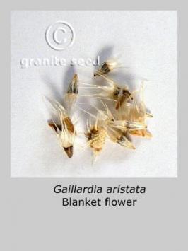 gaillardia aristata product gallery #2