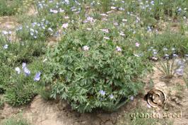 geranium viscosissimum product gallery #3