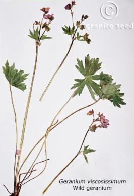 geranium viscosissimum product gallery #5