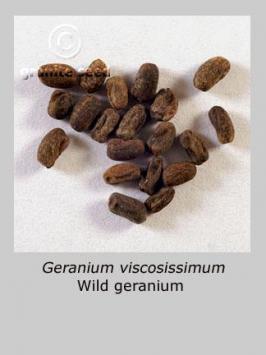 geranium viscosissimum product gallery #6