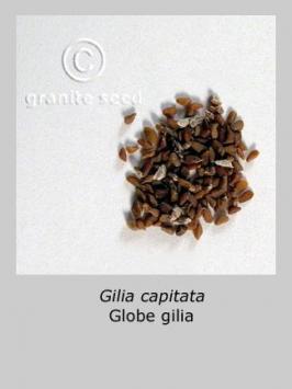 gilia  capitata  product gallery #3
