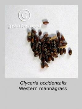 glyceria occidentalis product gallery #2