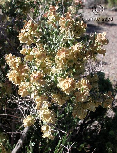 Grayia spinosa