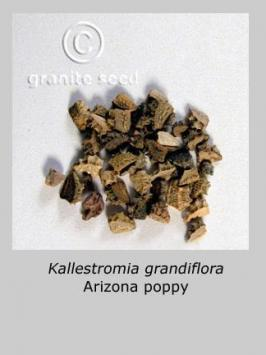 kallstroemia grandiflora product gallery #3