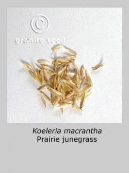 koeleria macrantha product gallery #6