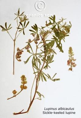 Lupinus albicaulis