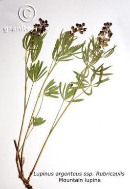 lupinus  argenteus ssp. rubricaulis  product gallery #9