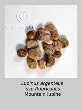 lupinus  argenteus ssp. rubricaulis  product gallery #10