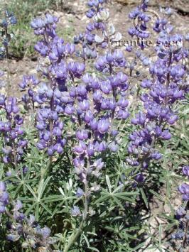 lupinus  argenteus ssp. rubricaulis  product gallery #11