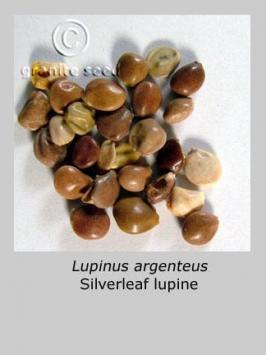 lupinus argenteus product gallery #1