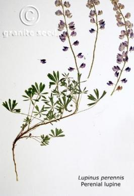 lupinus perennis product gallery #1