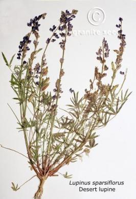 lupinus sparsiflorus product gallery #3