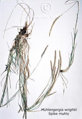 muhlenbergia wrightii product gallery #1