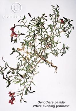 oenothera pallida product gallery #2