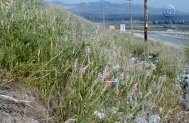 Onobrychis Viciifolia Granite Seed And Erosion Control