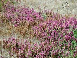 castilleja exserta ssp. exserta product gallery #2