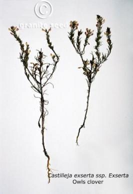 castilleja exserta ssp. exserta product gallery #4