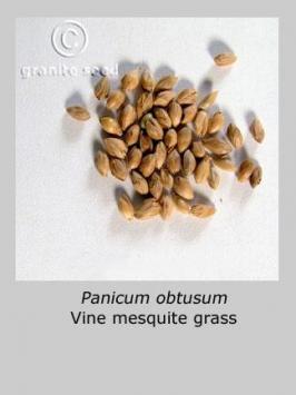 panicum  obtusum  product gallery #2