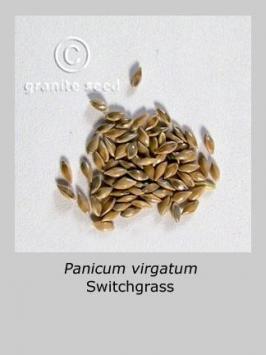 panicum  virgatum  product gallery #2