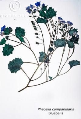 phacelia campanularia product gallery #2