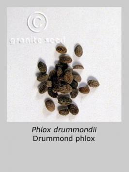 phlox drummondii product gallery #2