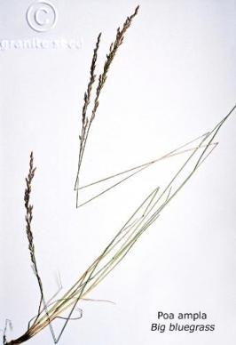 Poa secunda ssp. ampla