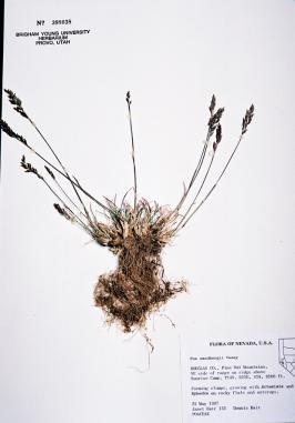 Poa secunda ssp. sandbergii