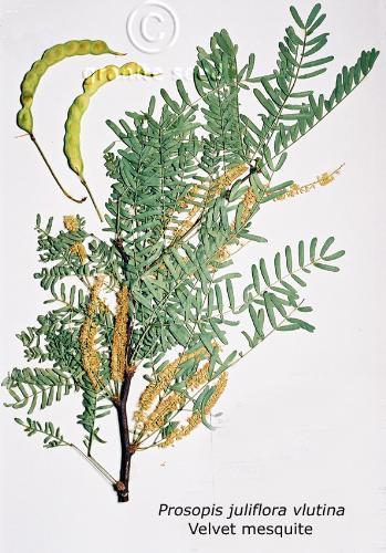 Prosopis juliflora velutina
