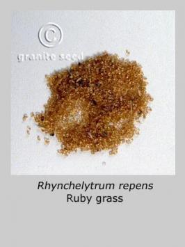 rhynchelytrum  repens  product gallery #2