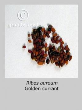 ribes aureum product gallery #2