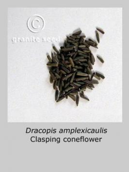 dracopis amplexicaulis product gallery #1
