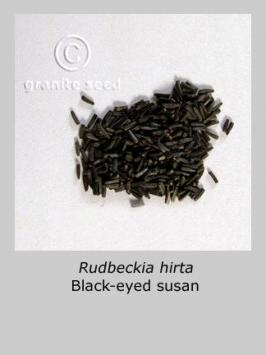 rudbeckia hirta product gallery #3