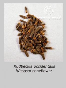 rudbeckia occidentalis product gallery #2