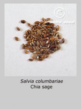 salvia columbariae product gallery #1