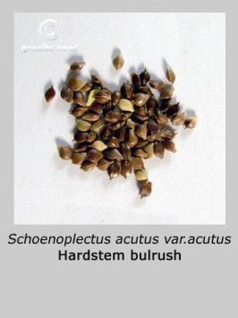 schoenoplectus acutus var. acutus product gallery #2
