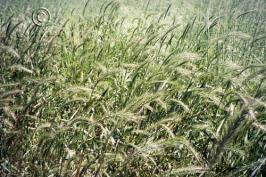 elymus elymoides product gallery #1