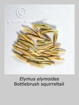 elymus elymoides product gallery #4