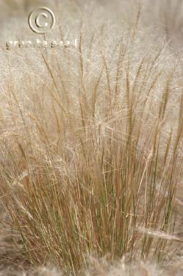 elymus elymoides product gallery #6