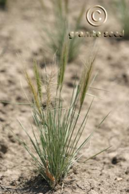 elymus elymoides product gallery #7