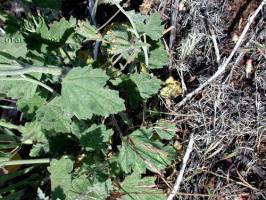 sphaeralcea grossulariifolia product gallery #5