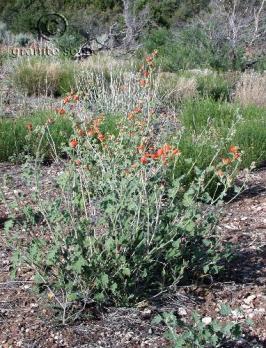 sphaeralcea grossulariifolia product gallery #1