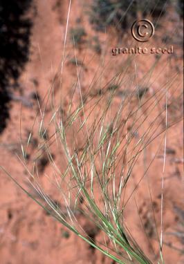 Hesperostipa comata ssp. comata